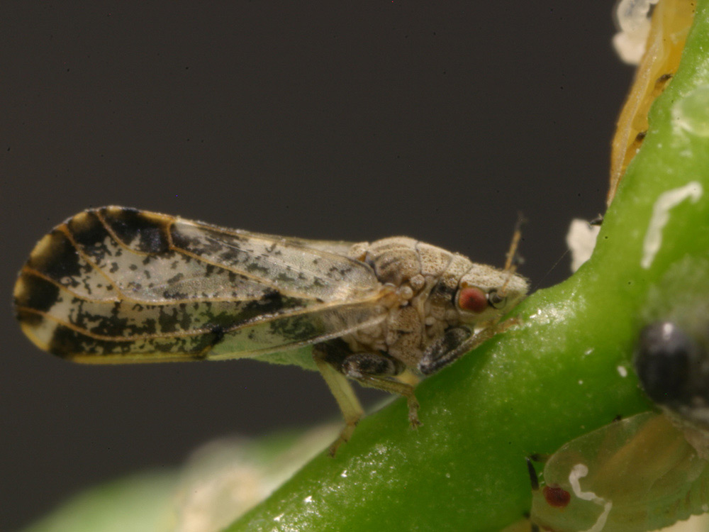 Adult Asian citrus psyllid photo