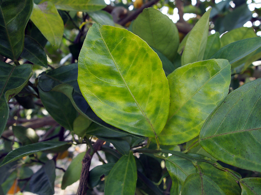 Citrus tree leaves turning yellow from Huanglongbing disease